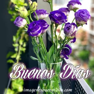 rosas moradas buenos días