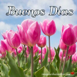 tulipanes para dar buenos días